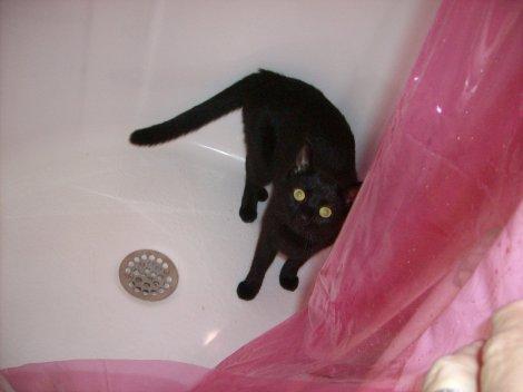 black domestic shorthair