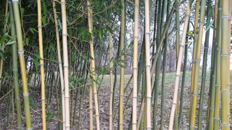 ornamental bamboo