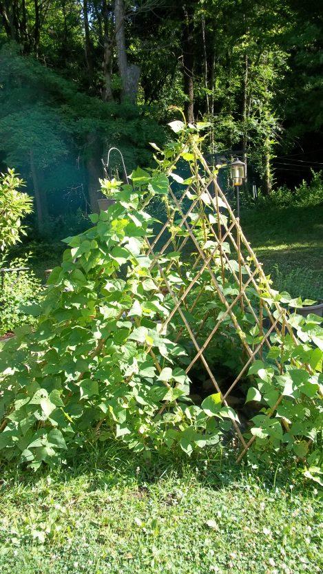 climbing green beans