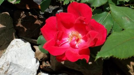 knockout rose