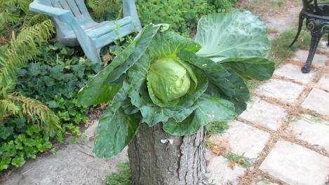 non-GMO cabbage