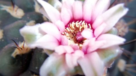 mammalaria cactus