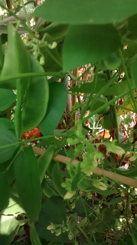 orange Lima beans
