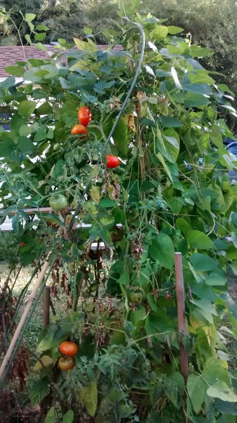 Hopi orange Lima beans