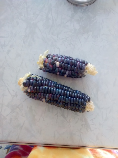 dent blue corn