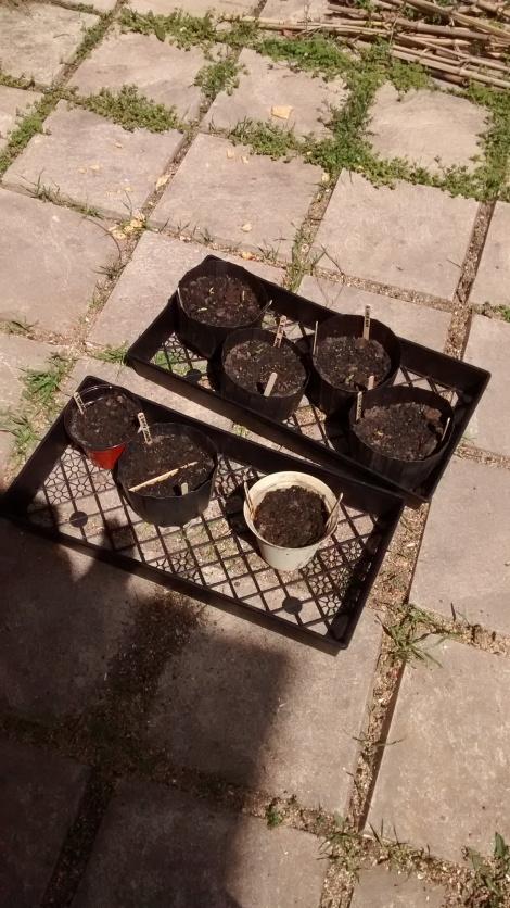 hot pepper seedlings